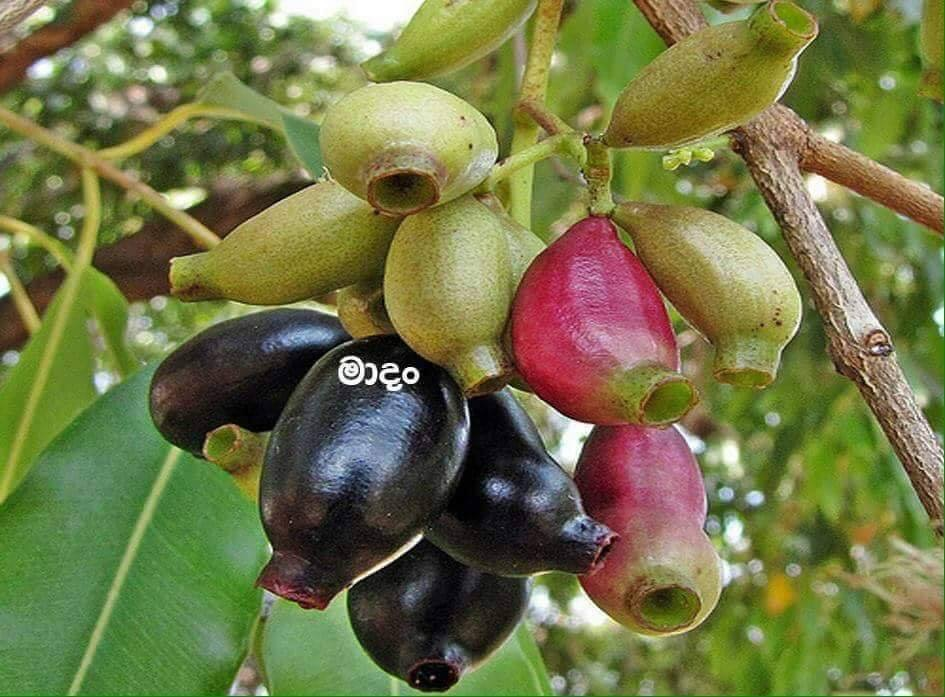 Native rare Healthy wild Fruits in Sri Lanka | Back to Nature