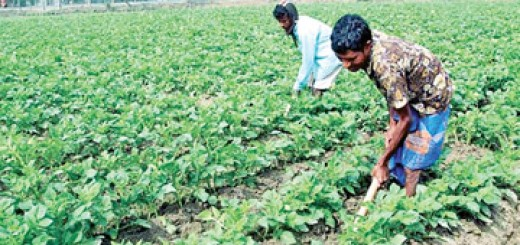Vegetable cultivation up country