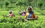 Center for Sustainability & Lipton to uplift productivity of Sri Lankan tea lands