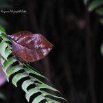 Sri Lanka Blue Oak Leaf (Endemic)